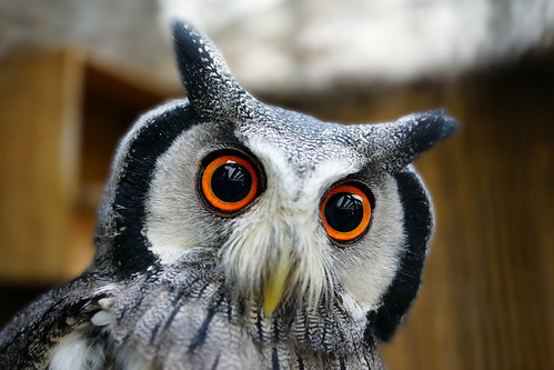 Bizarre Owl (Best on black) p.s. it IS real | by SparkleHedgehog