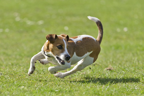 Running Jack Russel | by Hans Surfer (where the action is)