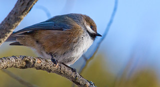Boreal Chickadee | by Shawn McCready