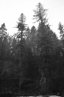 211111-tallest-douglas-fir-the-hermitage | by treeblog