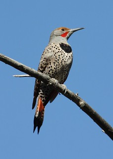 Northern Flicker - Male | by Adventures with E&L