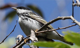 April 2012  Blackpoll Warbler | by cheryllachance60