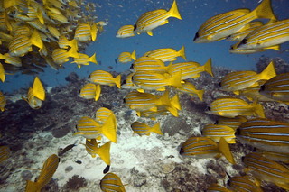 Diving Maldives: Large school of Kashmir Snapper | by Mal B