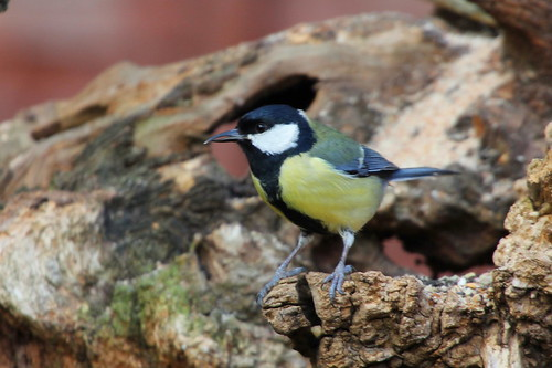 Great Tit | by nick Stacey