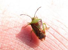 Birch Sheildbug - Elasmostethus interstinctus