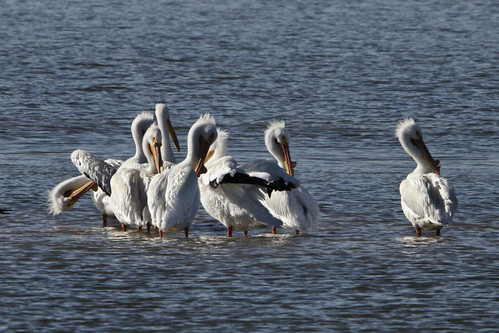 Spring is here... according to American White Pelicans | by dcstep