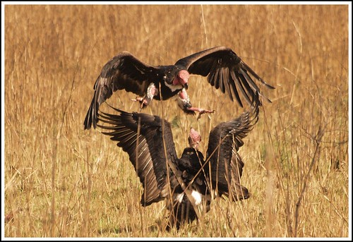King Vultures | by Anindo Dey