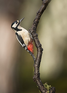 Great Spotted Woodpecker | by David C Walker 1967
