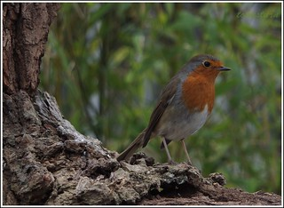 Tuesday robin | by Tonisturn