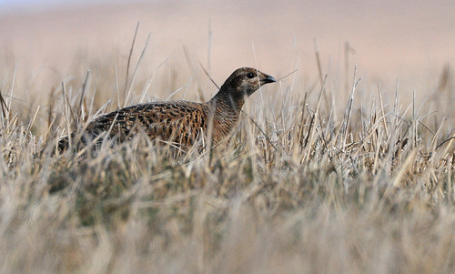 Female Black Grouse | by ron.hindhaugh