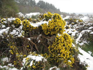 Snow-covered Gorse | by Born.Free