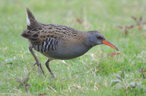 Water rail | by mickd410