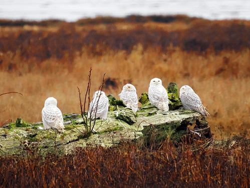 Snowy Owl Fantastic Five | by TOTORORO.RORO