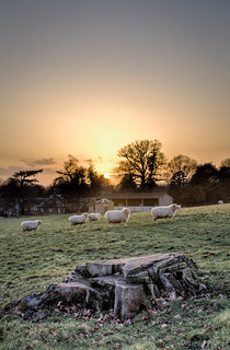 Sheep at Sunset | by ShotHotspot.com