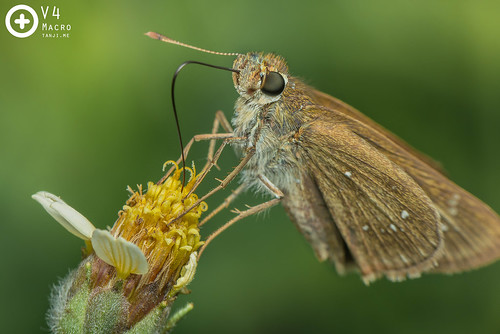 Brown Skipper (?) - Pelopidas sp. | by PF T.J.