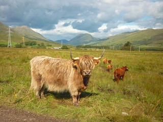 Highland Coes. | by Vicki Milway