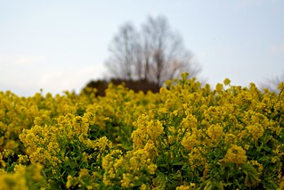 The Rapeseed | by wolfives