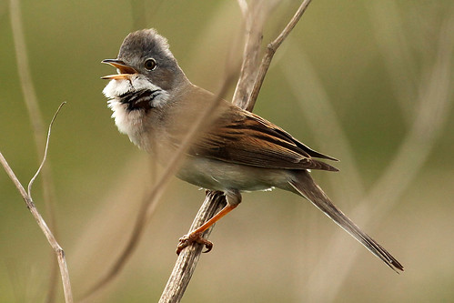 Whitethroat - Sylvia communis | by wickwelsh