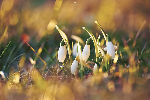 February 25, 2012: The first snowdrops | by just.like.that.