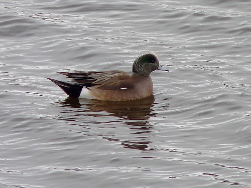 American Wigeon at Perth Amboy's waterfront | by Dendroica cerulea