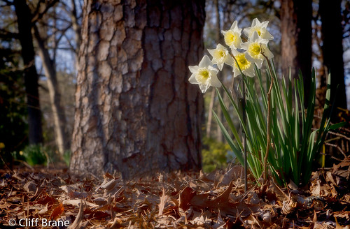 Spring's Sentinels - Daffodils at Birmingham Botanical Gardens | by Cliff Brane