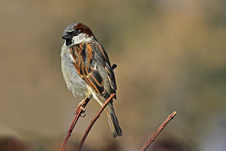 House Sparrow ~Explored~ | by My_Minds_Eye