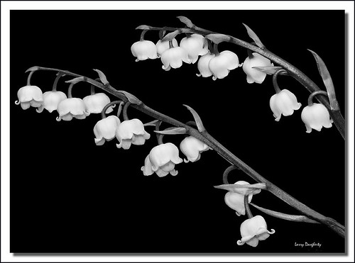 Lilly of the Valley in black and white... | by Larry Daugherty