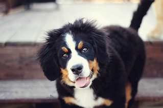 Happy Berner! | by Golden Moments Petography