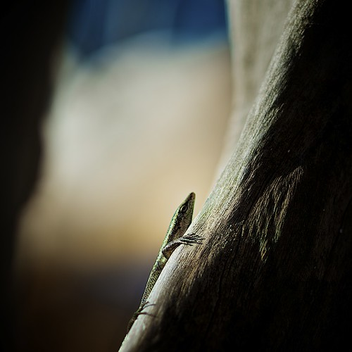 Seychelles - Lizard on dark Rock | by ☆ j é r e n