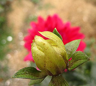 BUD n the FLOWER  [EXPLORED-21] | by ~~ASIF~~ on n off (sick)