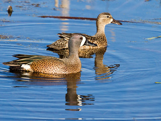Blue-winged Teal | by Denise Trocio (D Trocio Photography)
