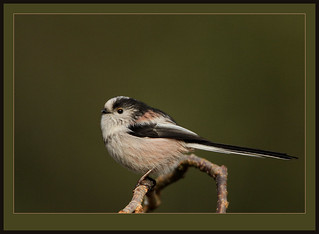 Long-tailed Tit (view large) | by Rainbirder