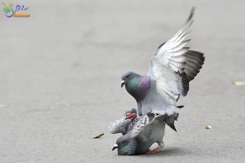Pigeon_6667