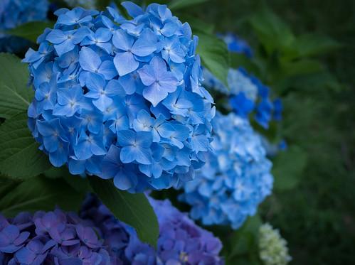 【GR】紫陽花
