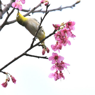 F_DSC_6831-L-綠繡眼-Zosterops japonica-Japanese White-eye-櫻花-Cherry Blossom-羽-Feather-翼-Wings-鳥-Bird-士林-Shilin-台北市-Taipei City-台灣-Taiwan-中華民國-Rep of China-Nikon D90-Nikkor 300mm-TC-14E II | by May-margy