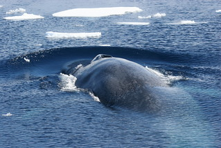 Antarctic blue whale | by Oregon State University