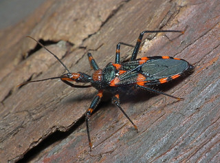 Assassin Bug | by James Niland