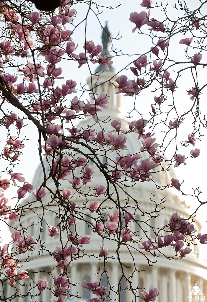 Tulip Tree In Bloom March 2012 On The Capitol Grounds Tu Flickr