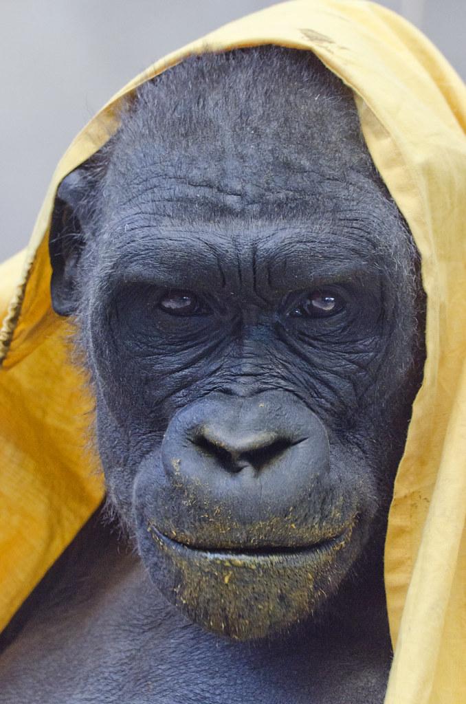 Yellow Gorilla