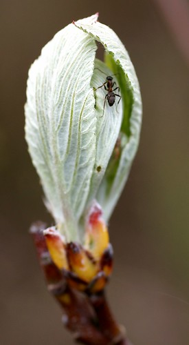 Mehlbeere, echte mit Besuch / common whitebeam visited by an ant (Sorbus aria) | by HEN-Magonza