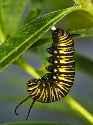 Caterpillar to Chrysalis #2 | by SidPix