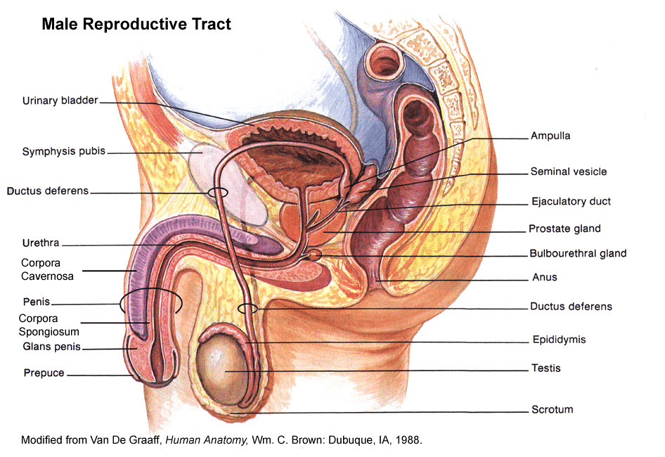 Human Male Reproductive System Lmwoodward Flickr