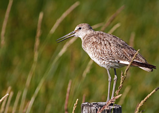 Willet (I believe - please advise if you know differently)...#2 | by Guy Lichter Photography - 3.7M views Thank you