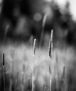 Grass field | by netzanette
