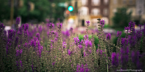 129/366 - Purple Flowers (Sweet Filter) | by JoshBassett|PHOTOGRAPHY