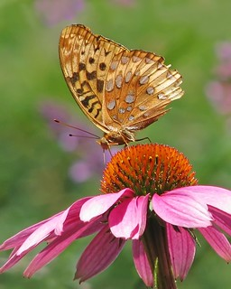 Great spangled fritillary on pink | by Vicki's Nature