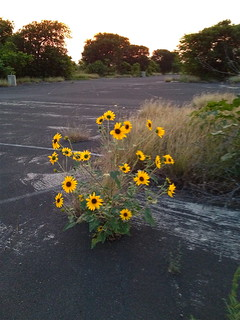 Mueller airport sunflowers | by suze61