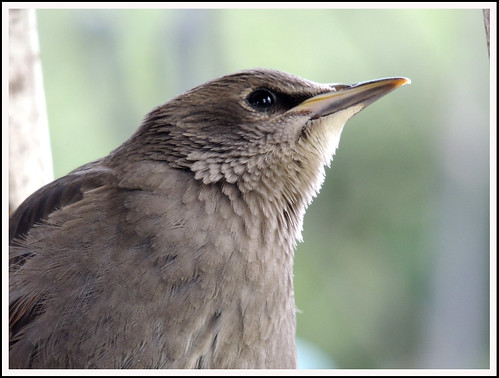 Young Starling 04a | by Magic Moments by Pippa