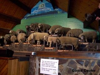 FET486 Display of Sheep @ Agradrome, Rotorua, New Zealand 2.6.09 | by davidncooke_686