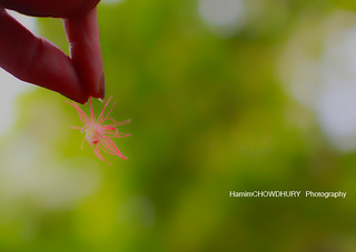 Dream Shot with Hijol flower ~~ | by HamimCHOWDHURY  [Read my profile before you fol